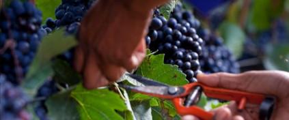 Pinot Noir gehört beim Cap Classique von Graham Beck einfach dazu.