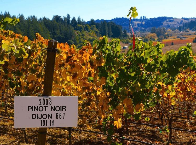 Pinot Noir Reben in den Weinbergen von Marimar Estate