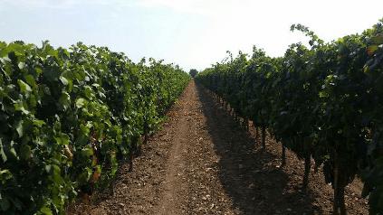 Ein Weinberg in Apulien von Cantine Minini