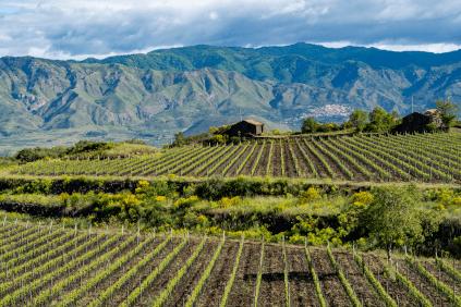 Weinbau am Fuß des Ätna