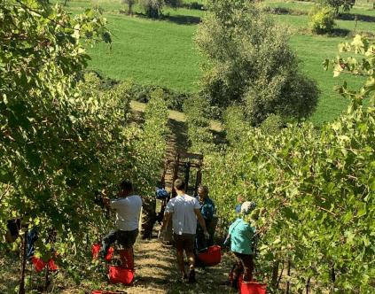 Ernte bei Villa di Corlo