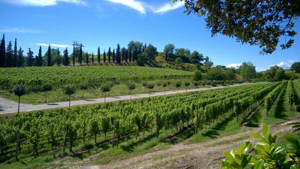 Weinberge in den Hügeln von Collio