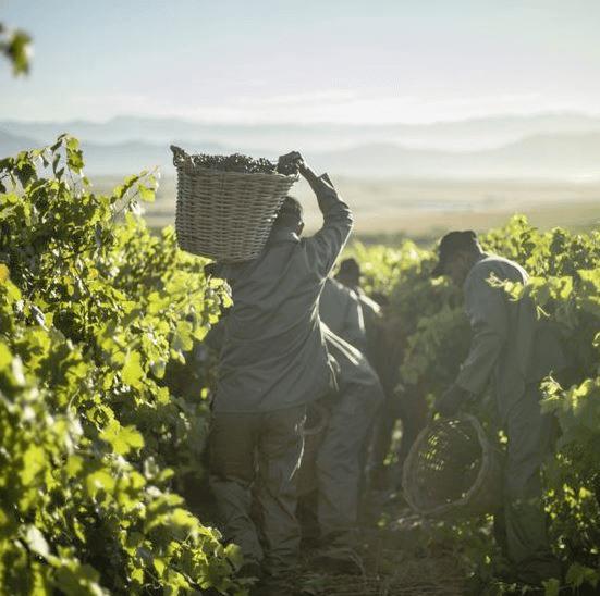 Die Weinlese in den Weinbergen von Allesverloren