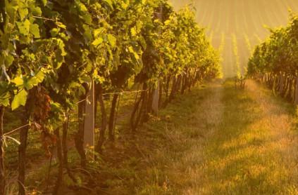 Bei Lomond entstehen komplexe und intensive Weine aus verschiedenen Rebsorten.