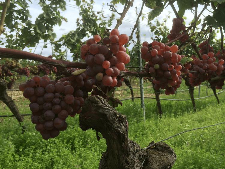 rote, reife Trauben vom Weingut Lukas Kesselring