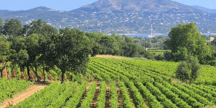 Weingärten von Chateau Minuty