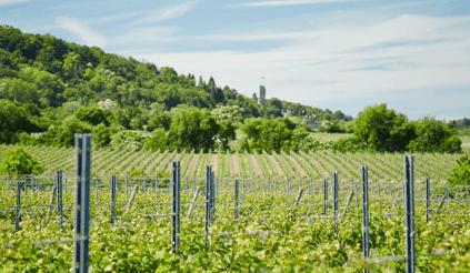 Blick über die Weinberge von Heinrich Vollmer